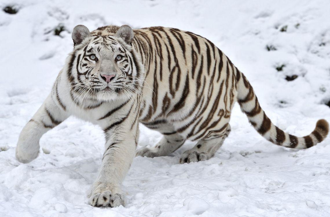 Белый тигр на снегу · бесплатное фото