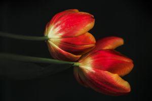 Заставки тюльпаны, чёрный фон, цветы