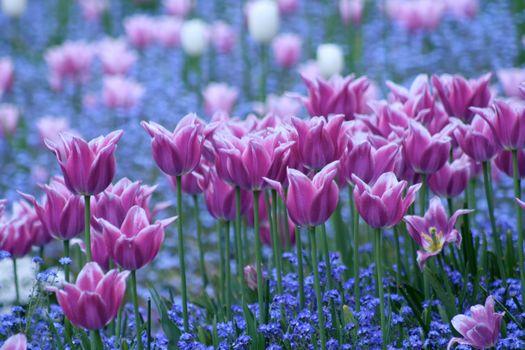 Photo free tulips, tulip, flowers