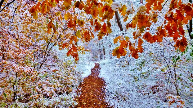 Autumn forest covered with snow - free photo