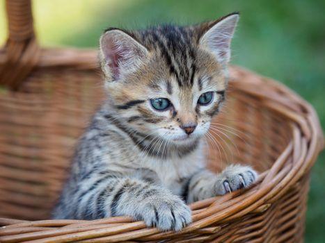 Фото бесплатно котёнок, корзина, кот, кошка, взгляд, домашнее животное