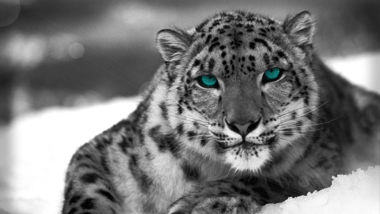 Фото бесплатно леопард, монохром, снег - на рабочий стол