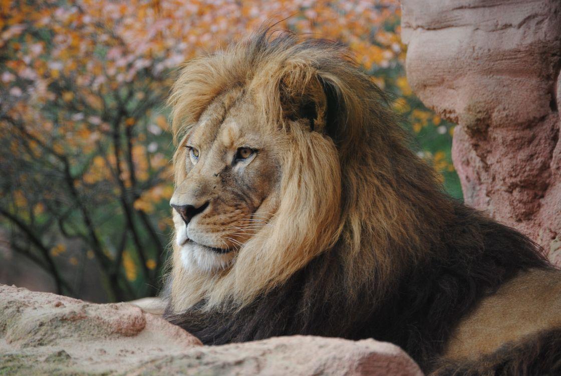 Фото бесплатно лев, отдых, грива - на рабочий стол