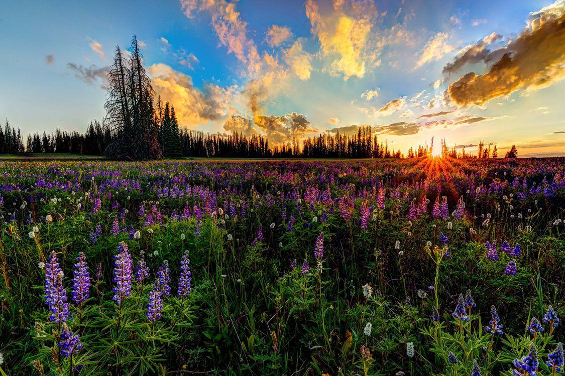 Фото бесплатно закат, поле, цветы, небо, деревья, облака, природа, пейзаж, пейзажи