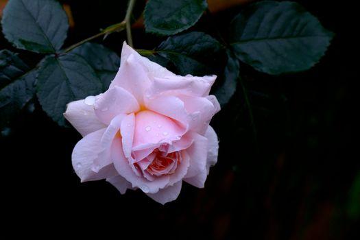 Белая роза и капли росы