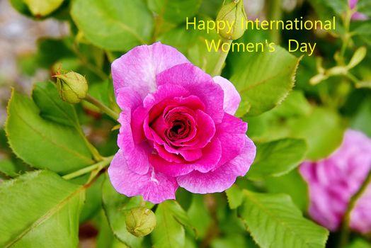 Заставка розы, пурпурные розы