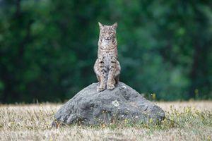 Бесплатные фото рыжая рысь,bobcat,Lynx Rufus,California,USA