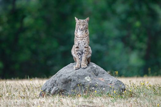 Фото бесплатно рыжая рысь, bobcat, Lynx Rufus, California, USA