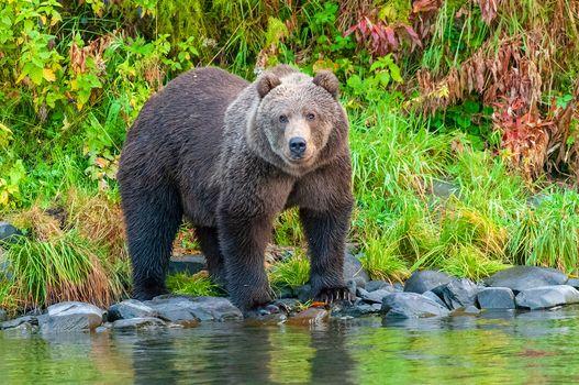Фото бесплатно Бурый медведь, река Карлук, плотоядное млекопитающее