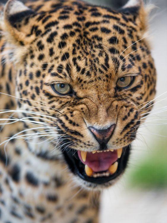 Фото бесплатно морда, леопард, большая кошка - на рабочий стол