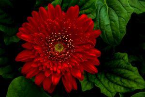 Фото бесплатно флора, макро, Dahlia