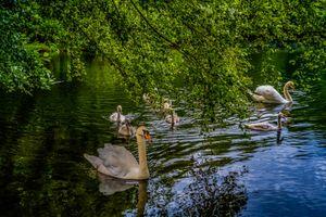 Фото бесплатно лебеди, озеро, водоём