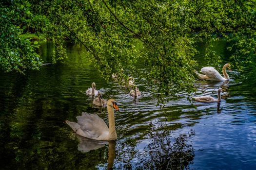 Бесплатные фото лебеди,озеро,водоём,ветки деревьев,природа,водоплавающие,отражение,пейзаж