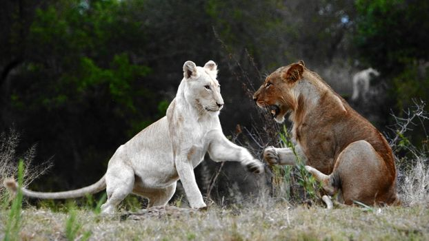 Фото бесплатно lionesses, лльвицы, игра