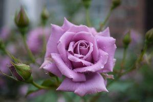 Роза удивительного цвета крупным планом
