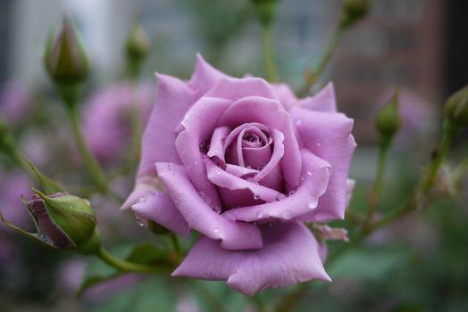 Роза удивительного цвета крупным планом · бесплатное фото