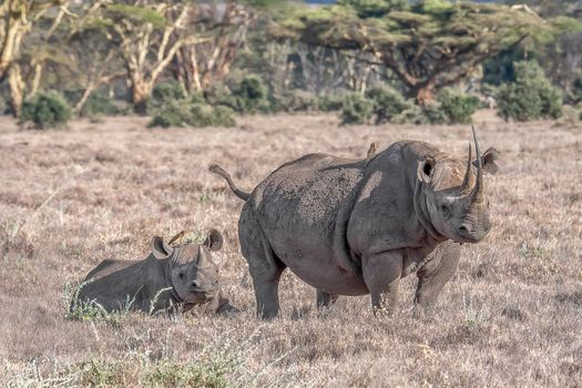 Photo free black Rhino, Kenya, Rhino