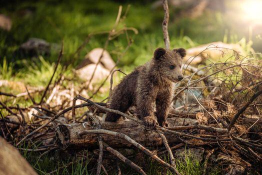 Фото бесплатно медвежонок, медведь, природа