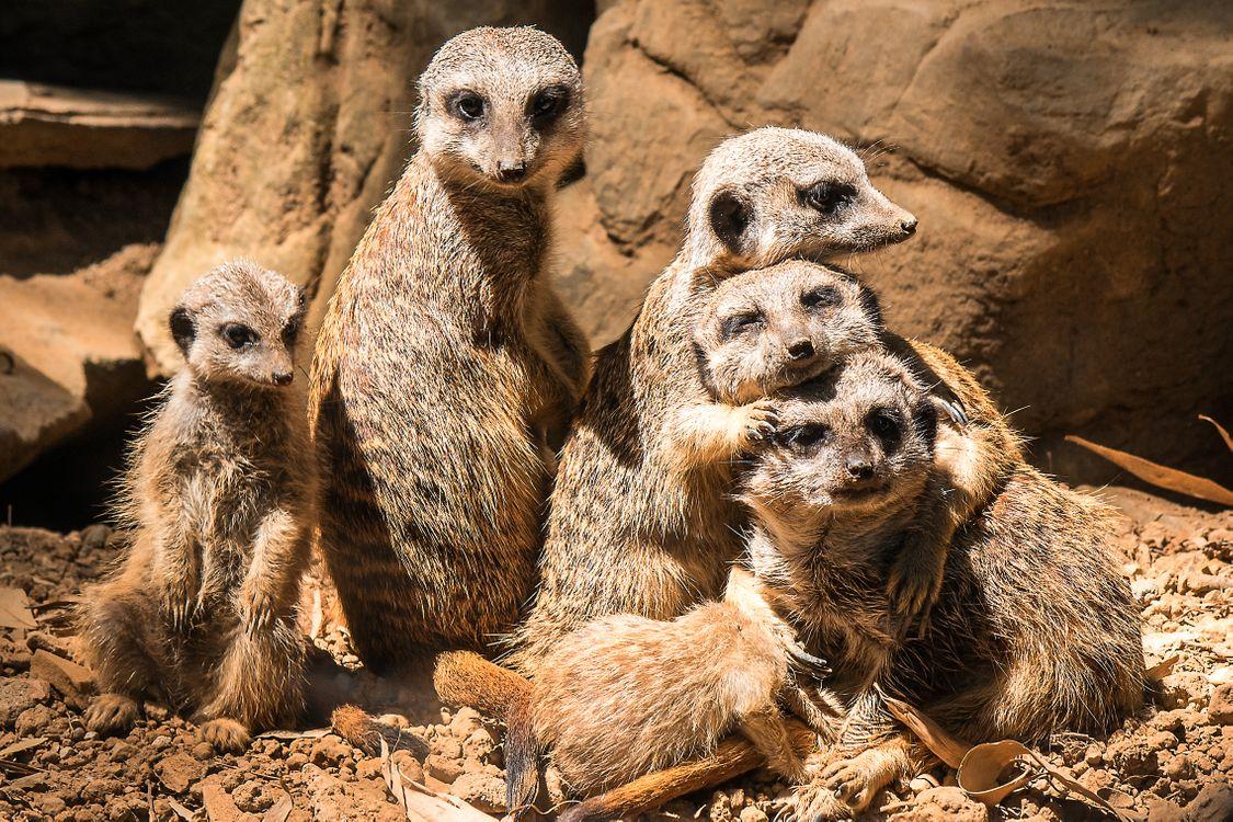 Фото бесплатно meerkat, обнимашки, suricate - на рабочий стол