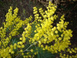 Бесплатные фото мимоза, цветы, ветка, флора