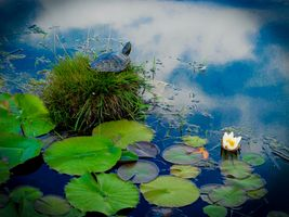 Фото бесплатно водоём, водяная лилия, кочка, остров, черепаха, растения, природа