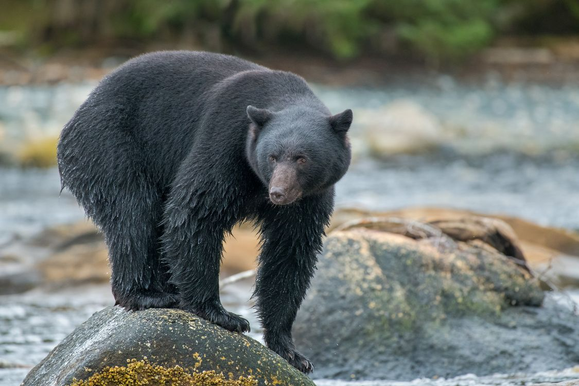Bear catches fish in the pond · free photo