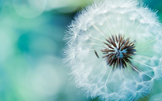Photo free close-up, dandelion, macro