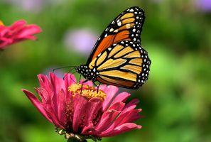 Фото бесплатно цветок, бабочка, нектар