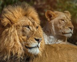 A pride of lions · free photo