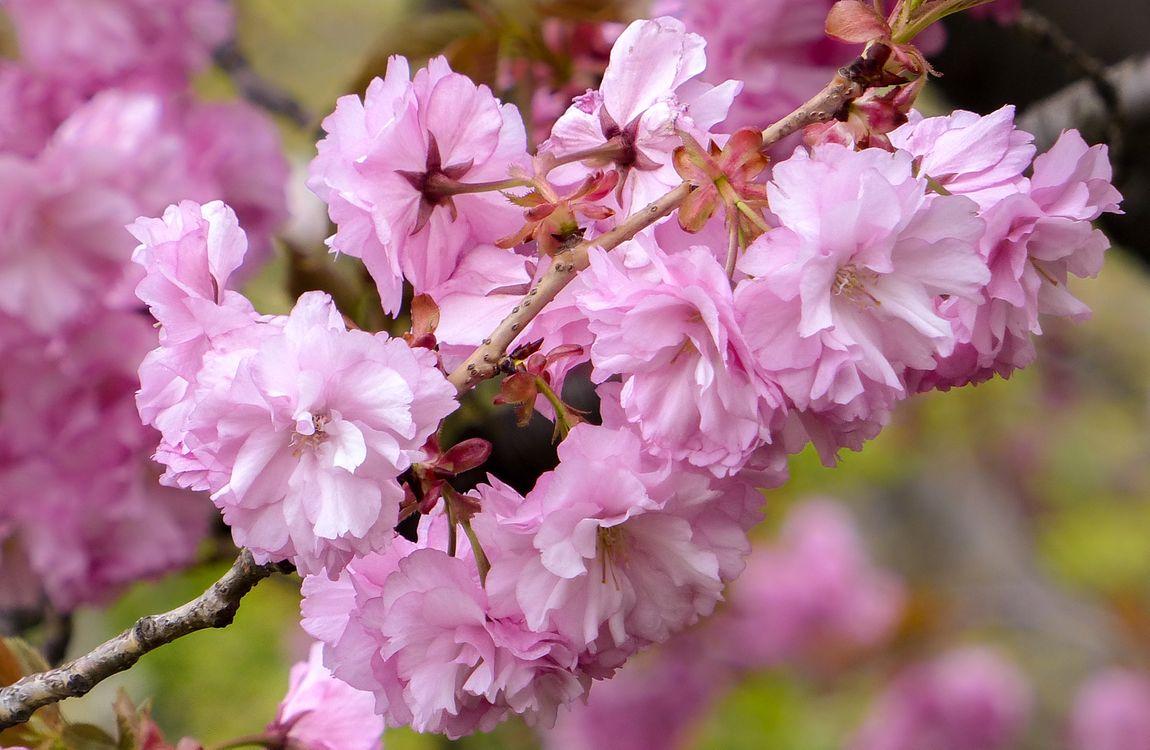 Фото бесплатно ветка, флора, вишня цветет - на рабочий стол