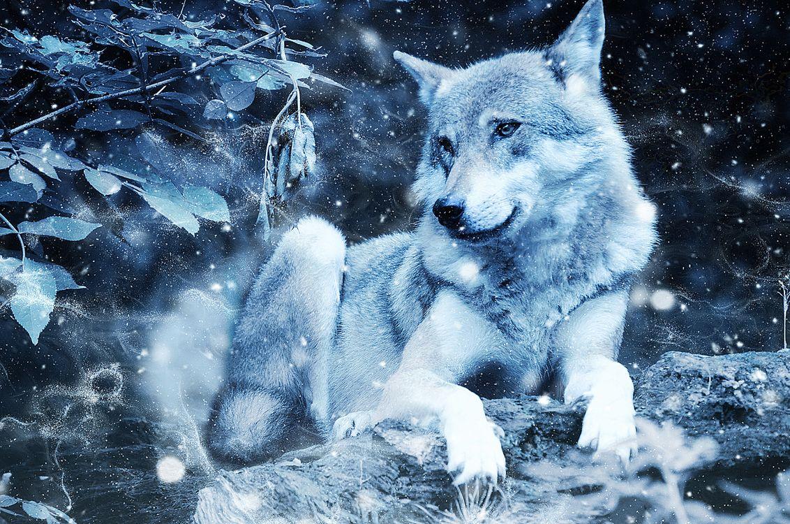 Фото бесплатно волк, хищник, зима - на рабочий стол