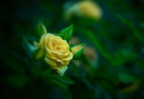 Photo free Yellow roses, green background, flower