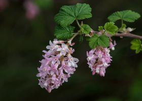 Фото бесплатно цветы, смородина, ветка