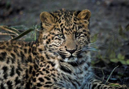 Photo free face, Chinese leopard, posture