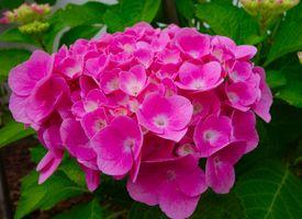Бесплатные фото красивая,цветение,цветок,сад,садовый цветок,гортензия,гортензии цветок