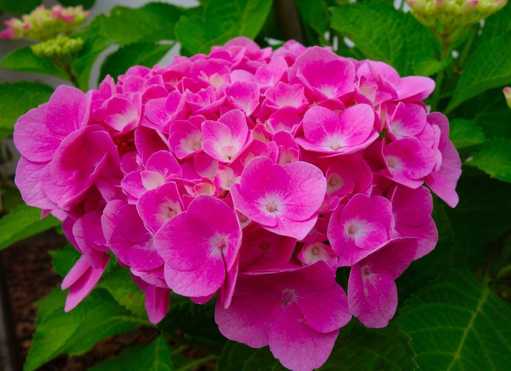 Обои красивая, цветение, цветок, сад, садовый цветок, гортензия, гортензии цветок картинки на телефон