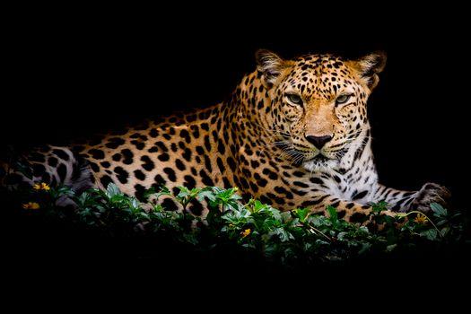 Обои на телефон хищник, леопард портрет