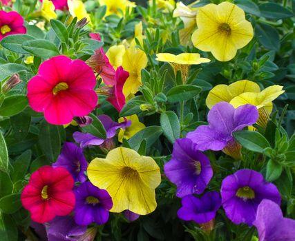 Бесплатные фото Петуния,клумба,цветы,цветение,цветочный,яркий,флора