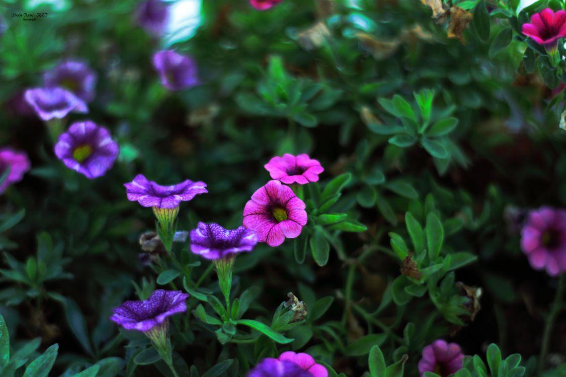 Фото герани природа гераниецветные - бесплатные картинки на Fonwall