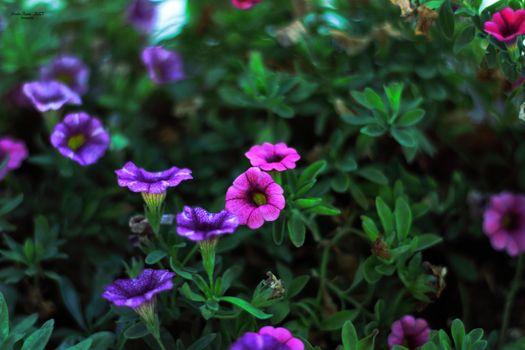 Фото бесплатно герани, природа, гераниецветные