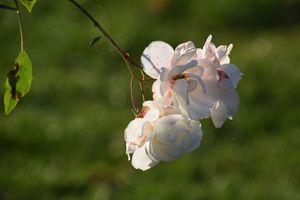 Фото бесплатно розы, белый, цветок