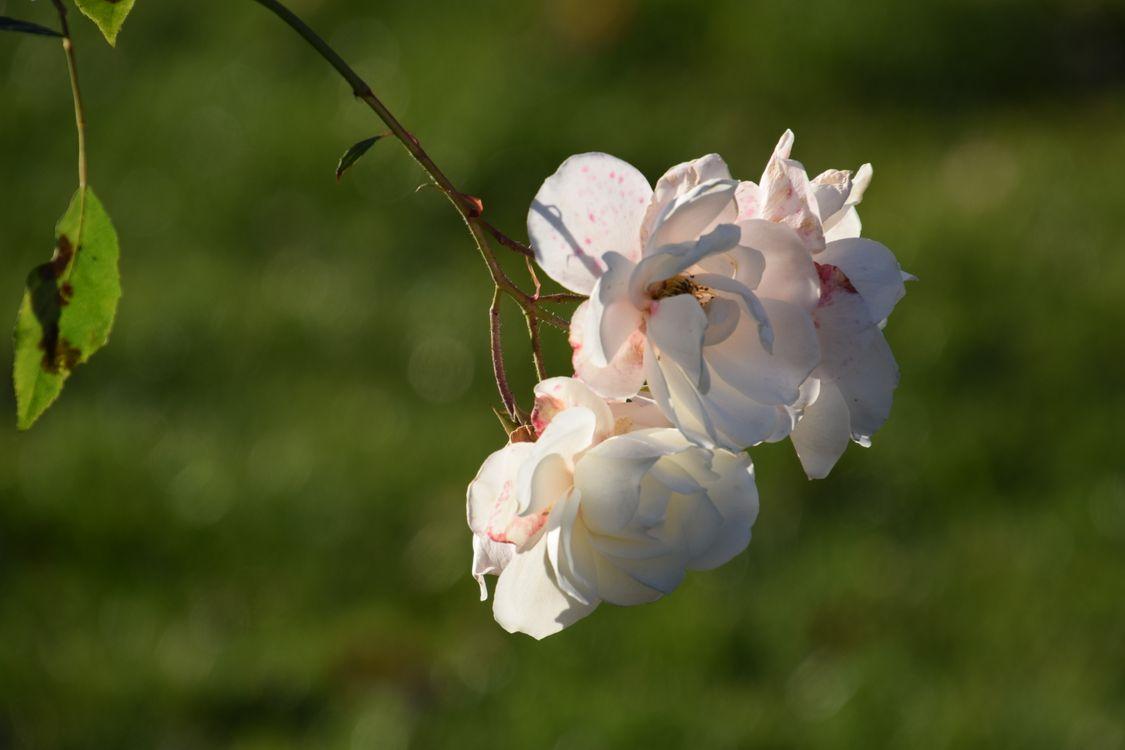 Фото бесплатно розы, белый, цветок, лепесток, весна, растение, филиал, розовый, ботаника, цвести, небо, цветущее растение, трава, дерево, дикий цветок, цветы
