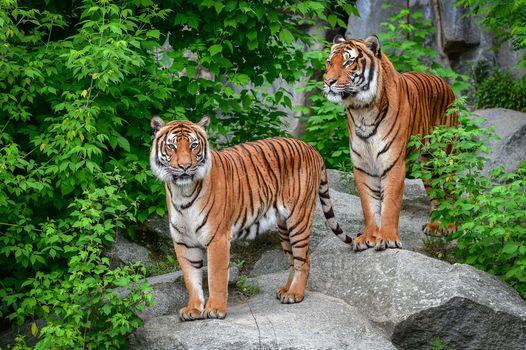Screensaver Amur tiger, an animal on the iPhone