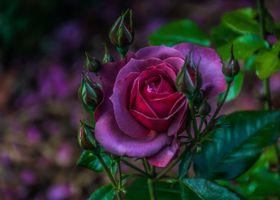 Темно-сиреневая роза