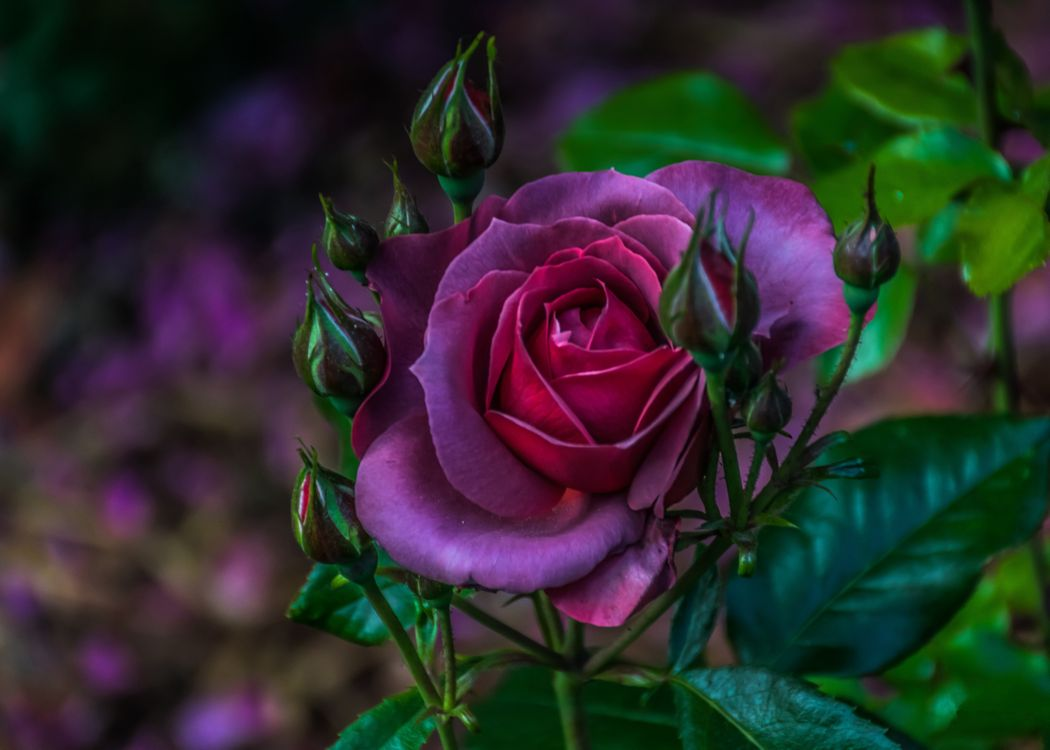 Темно-сиреневая роза · бесплатное фото