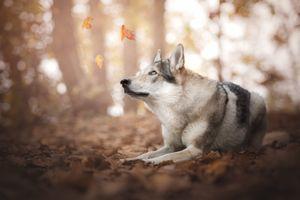 Листопад и волкособ
