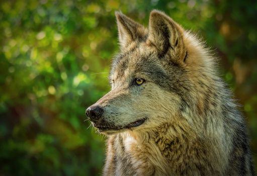 Photo free wolf, predator, profile