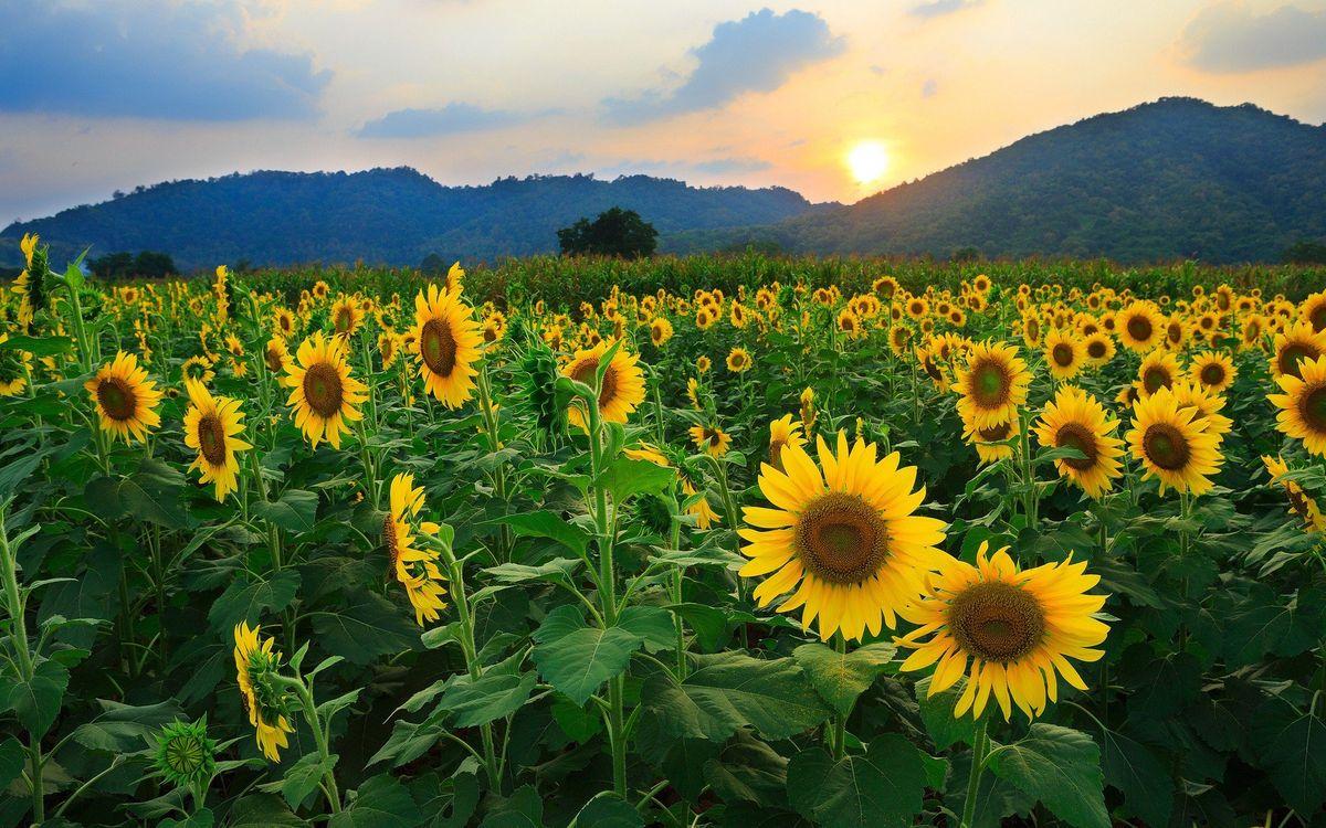 Фото бесплатно подсолнухи, поле, горы - на рабочий стол