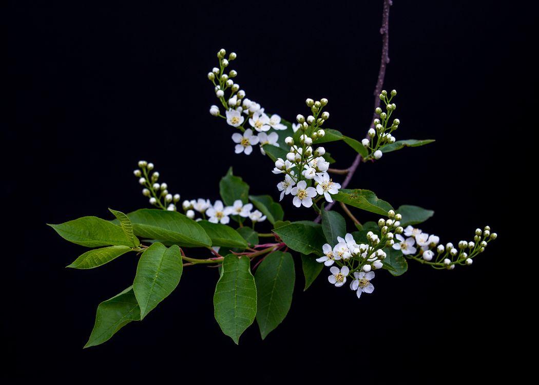 Фото бесплатно Весенние бутоны, вишневое дерево, цветы, цветущая ветка, вишня, чёрный фон, флора, цветы