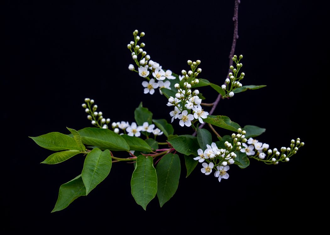 Обои Весенние бутоны, вишневое дерево, цветы, цветущая ветка, вишня, чёрный фон, флора на телефон | картинки цветы